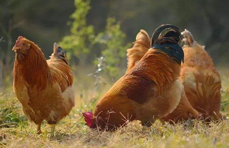 孕妇梦见鸡是什么意思?