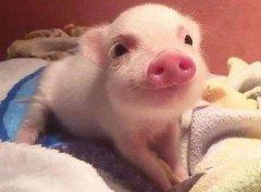 孕妇梦见猪是什么意思?