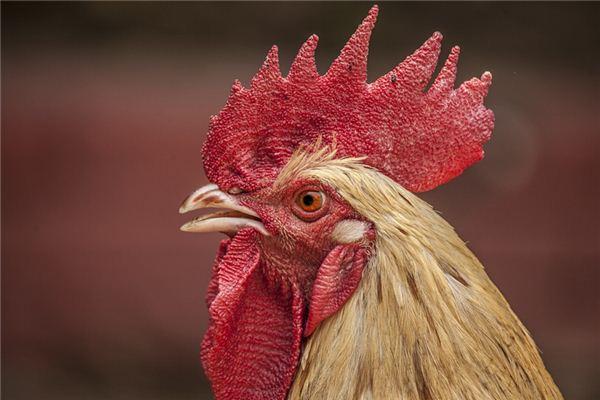 梦见鸡叫声是什么意思