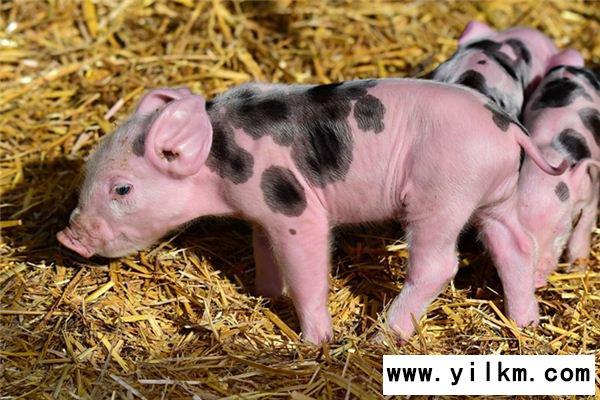 梦见抱着猪崽是什么意思