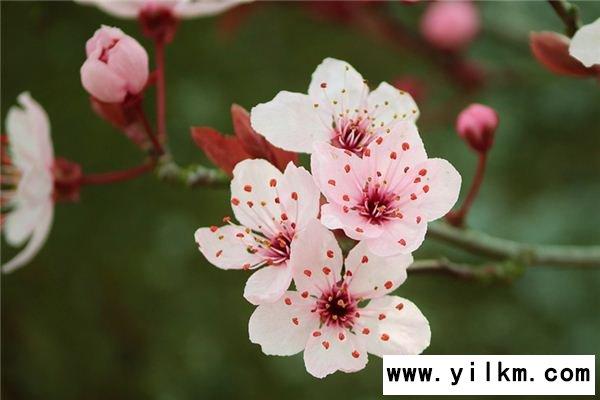 梦见石楠花是什么意思