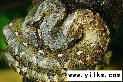 梦见大蟒蛇在树上
