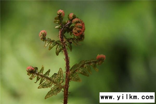梦见蕨类植物是什么意思
