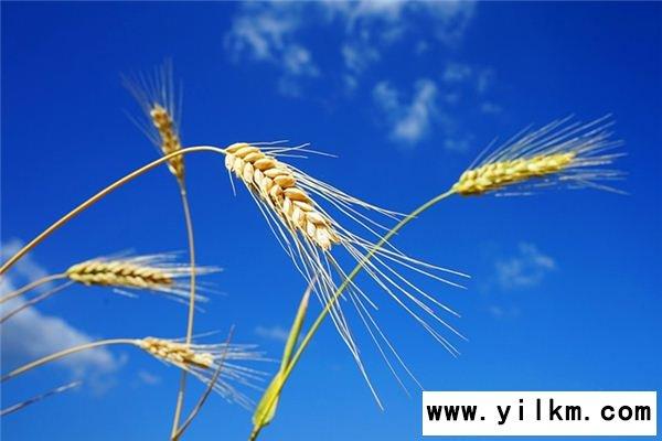 梦见种麦子是什么意思
