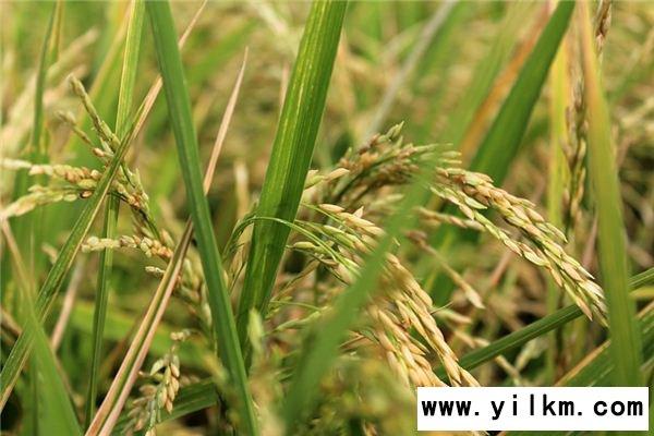 梦见稻米堆是什么意思