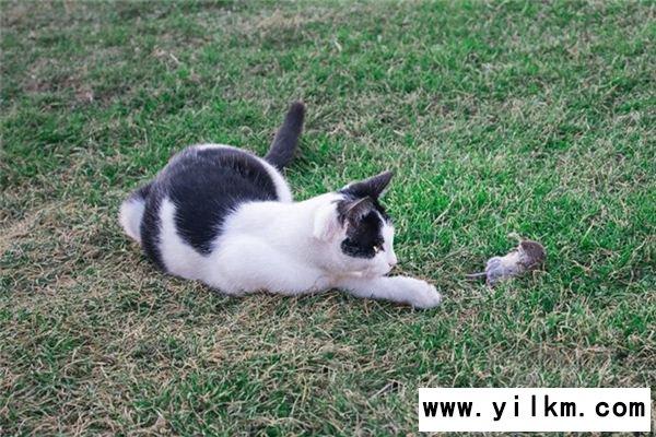 梦到猫抓老鼠