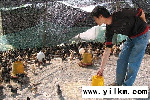 梦见鸡在啄食饲料