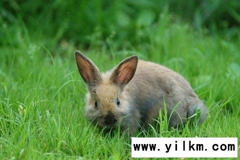 梦见兔子在原野奔跑