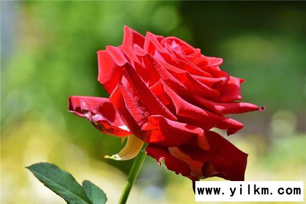 梦见红玫瑰是什么意思