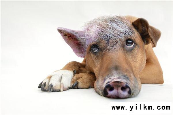 梦见狗猪是什么意思