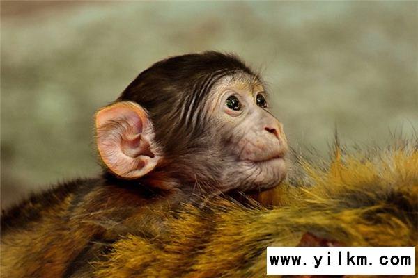 梦见无尾猿猴是什么意思