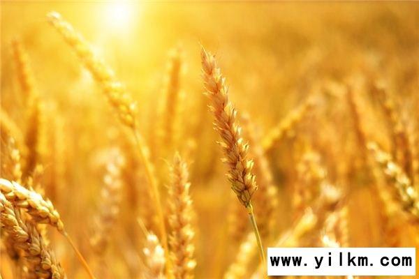 梦见小麦是什么意思
