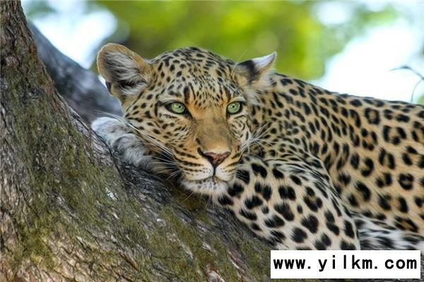 梦见美洲豹是什么意思