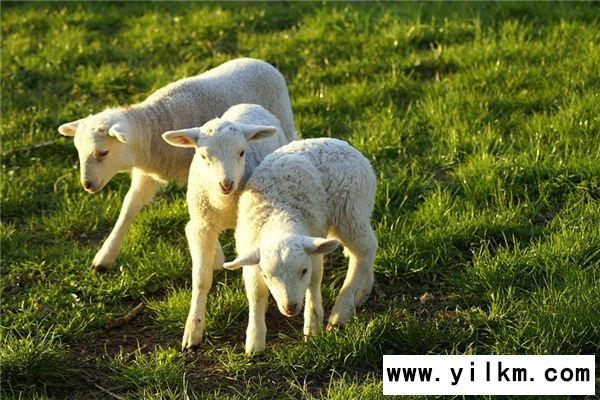 梦见小羊羔是什么意思