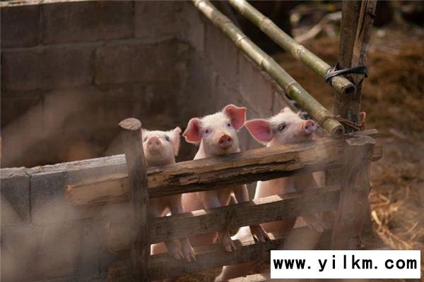 梦见白猪是什么意思