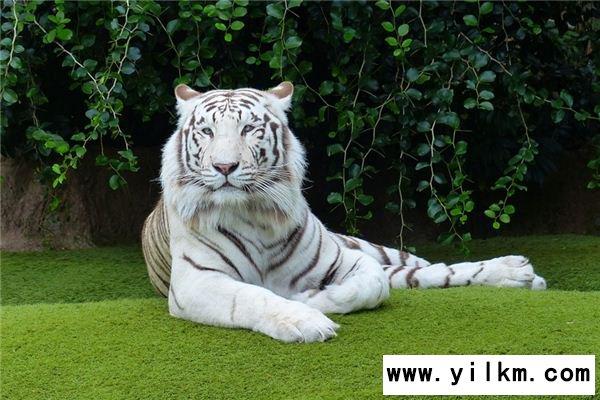 梦见白虎是什么意思