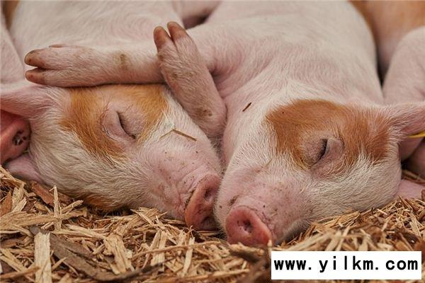 梦见死猪是什么意思