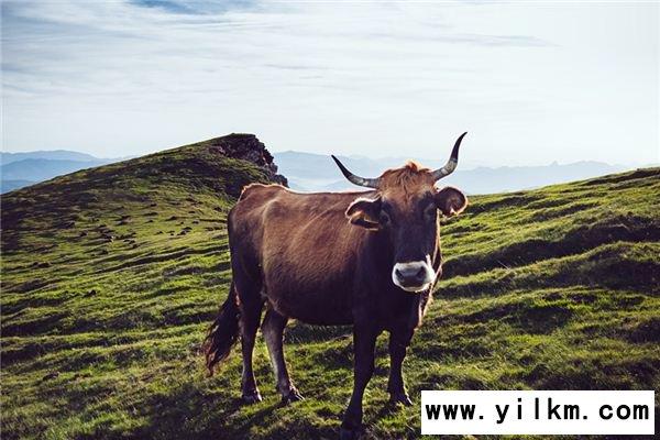 梦见被牛追是什么意思