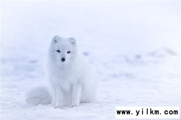 梦见白狐是什么意思