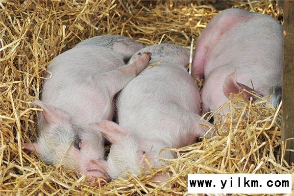 梦见自己喂猪是什么意思