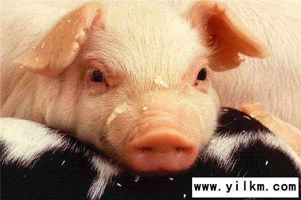 梦见猪头是什么意思