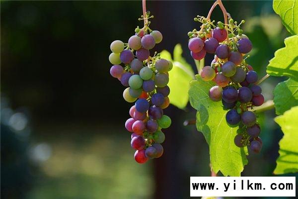 梦见葡萄是什么意思
