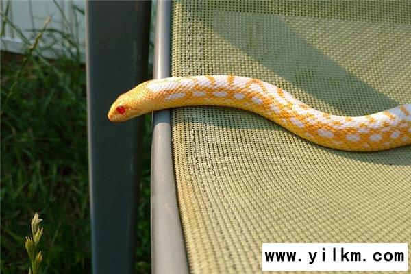 梦见金蛇是什么意思