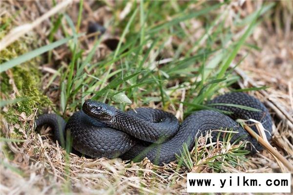 梦见黑蛇是什么预兆