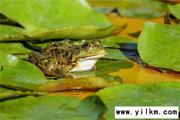 梦见蛙叫声是什么意思