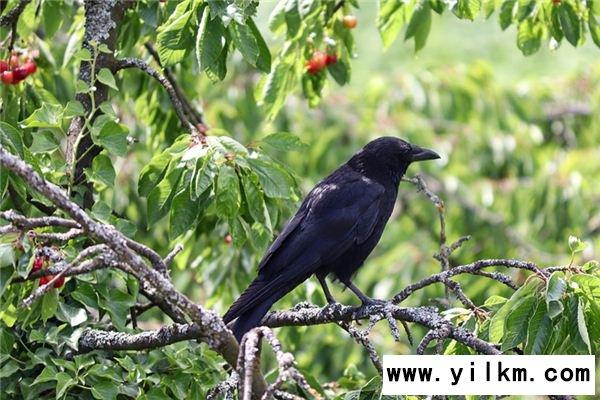 梦见捕捉乌鸦是什么意思