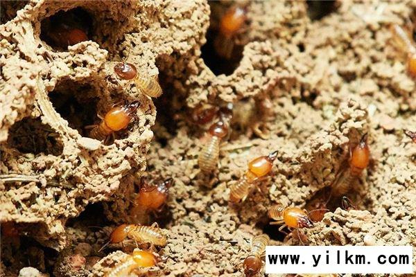 梦见白蚁是什么意思