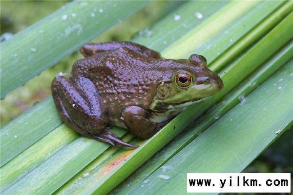 梦见牛蛙是什么意思