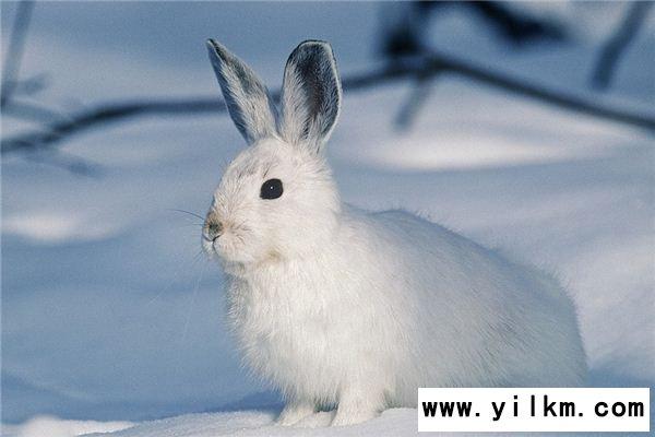 梦见白兔是什么意思