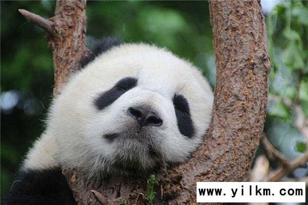 梦见熊猫是什么意思