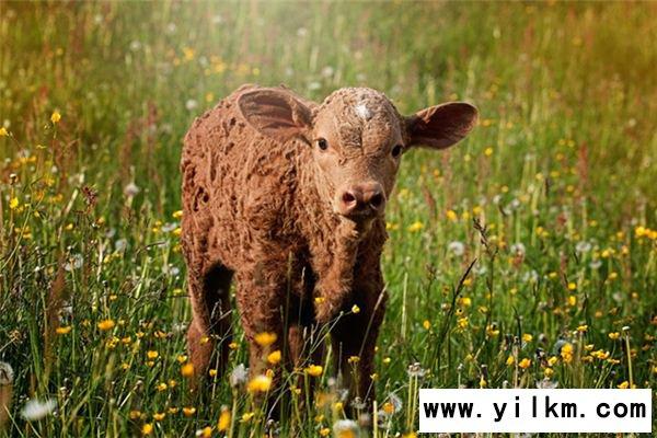 梦见小母牛是什么意思