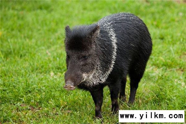 梦见黑猪是什么意思