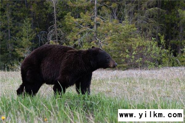 梦见黑熊是什么意思
