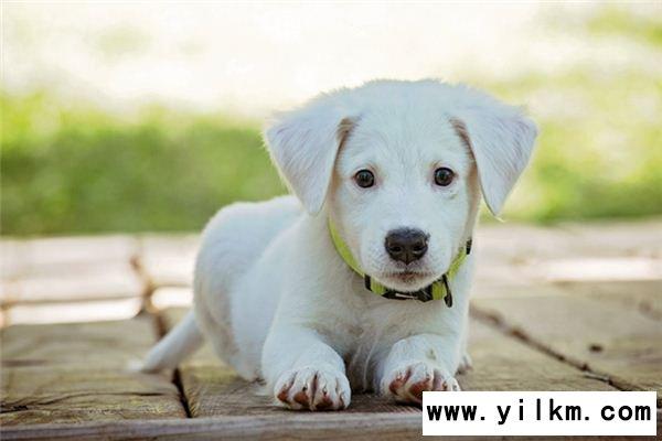 梦见白色的狗