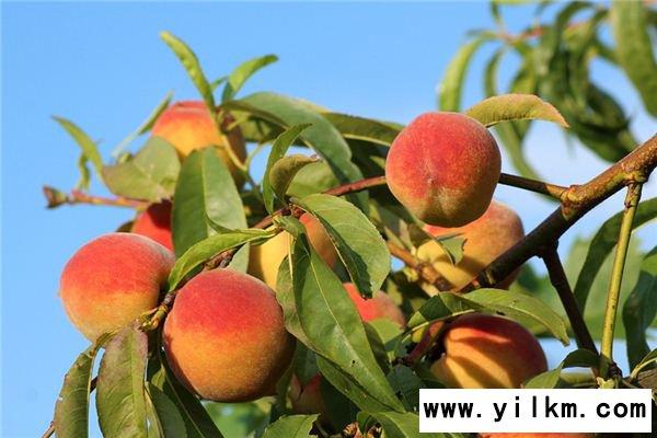 梦见摘桃子是什么预兆